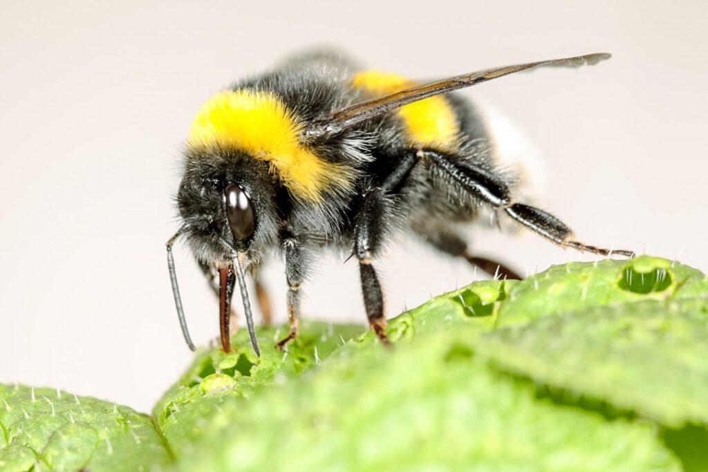 bumblebees pollen