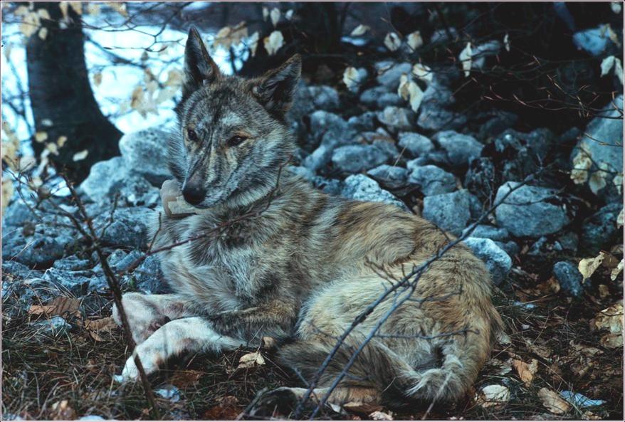 ibridazione lupo cane