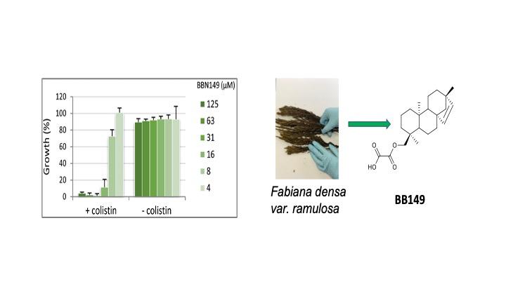Fabiana densa ramulosa antibiotico-resistenza