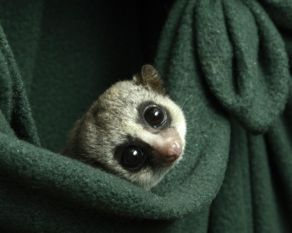 dwarf lemurs