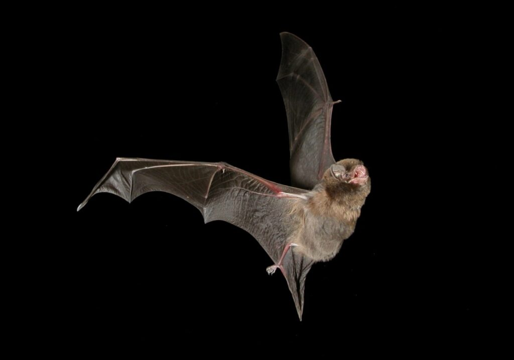 pipistrelli COVID-19 conservazione