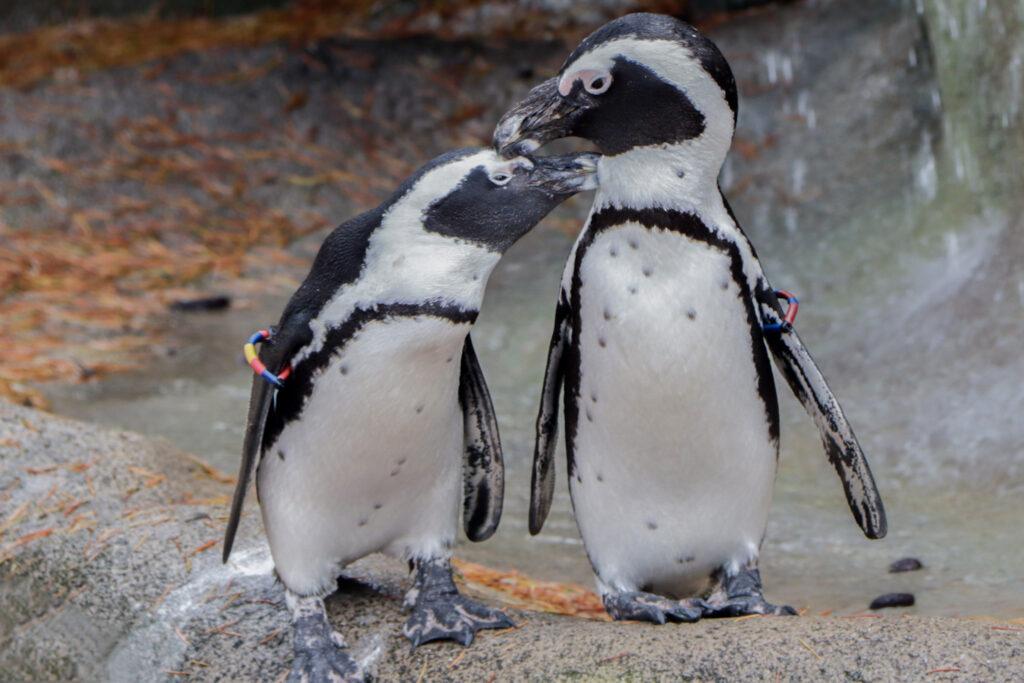 pinguini africani sensi