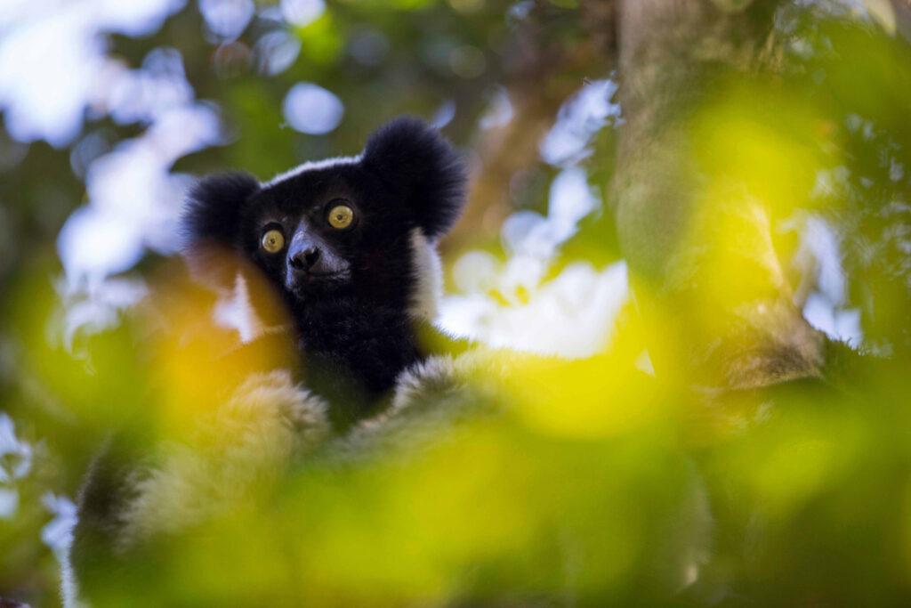ritmo lemuri indri ritmi categorici musica